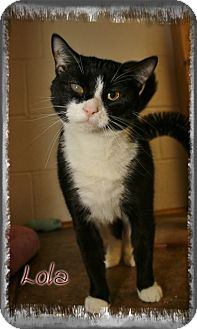 Domestic Shorthair Cat for adoption in Shippenville, Pennsylvania - Lola