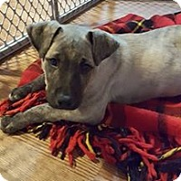 Mastiff Mix Dog for adoption in Maple Grove, Minnesota - Molly