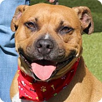 American Pit Bull Terrier Dog for adoption in Wenatchee, Washington - Lulu