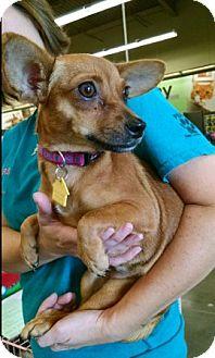 Chihuahua Mix Dog for adoption in Cat Spring, Texas - Calamity Jane aka C.J.