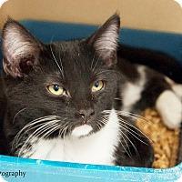 Adopt A Pet :: Beach Boy kitten Key Largo - Lincolnton, NC