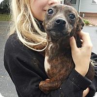 Adopt A Pet :: Honey - Russellville, KY