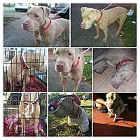 Adopt A Pet :: gemma - Hialeah, FL