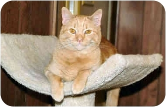 Domestic Shorthair Cat for adoption in Cleveland, Ohio - Penny for your thought