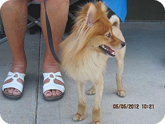 Pomeranian Dog for adoption in apache junction, Arizona - Robbie