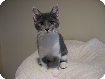 Domestic Shorthair Kitten for adoption in Eagan, Minnesota - Helena