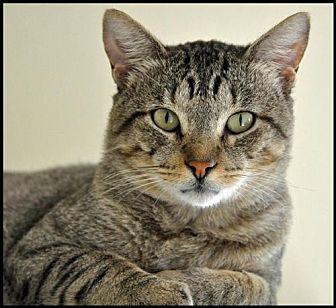 American Shorthair Cat for adoption in Alamogordo, New Mexico - Jinx