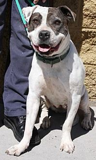 American Pit Bull Terrier/American Staffordshire Terrier Mix Dog for adoption in Gilbert, Arizona - Diamond