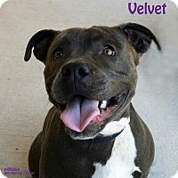 Adopt A Pet :: Velvet - Santa Maria, CA