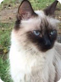Himalayan Cat for adoption in Mesa, Arizona - Sugar