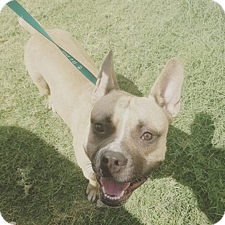 French Bulldog/American Pit Bull Terrier Mix Dog for adoption in Phoenix, Arizona - Texas