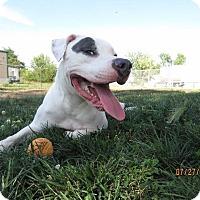 Adopt A Pet :: Pepper - Van Wert, OH