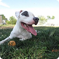 Pit Bull Terrier Mix Dog for adoption in Van Wert, Ohio - Pepper