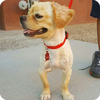 Tibetan Spaniel/Beagle Mix Dog for adoption in Scottsdale, Arizona - Hammy