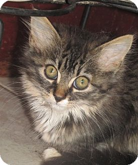 Maine Coon Kitten for adoption in Germantown, Maryland - Kenny