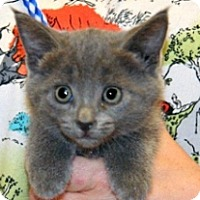 Domestic Shorthair Kitten for adoption in Wildomar, California - Lanie