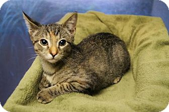 Domestic Shorthair Cat for adoption in Tempe, Arizona - Lilly