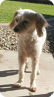 Maltese Mix Dog for adoption in Tempe, Arizona - Rafael