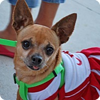 Chihuahua Dog for adoption in Madison, Alabama - Lindi