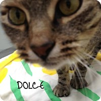 Adopt A Pet :: Dolce - Great Neck, NY