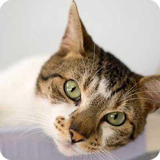 Domestic Shorthair Cat for adoption in Decatur, Georgia - HOUSTON
