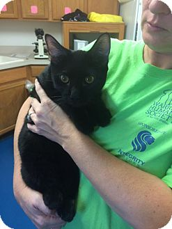 Domestic Shorthair Kitten for adoption in Newburgh, Indiana - Snickers
