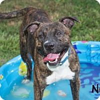 Pit Bull Terrier Mix Dog for adoption in Livingston, Louisiana - Neal