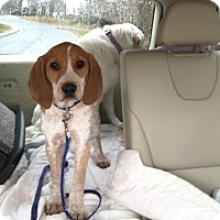 Coonhound Dog for adoption in Centreville, Virginia - Coonhound Pup 4 - Brody