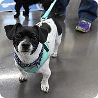 Adopt A Pet :: JoJo - joliet, IL