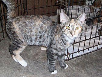 Domestic Shorthair Kitten for adoption in Morriston, Florida - carrot top