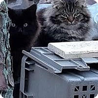 Adopt A Pet :: Poffy (Medford kittens) - Medford, NJ