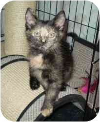 Domestic Shorthair Kitten for adoption in Boston, Massachusetts - Honey