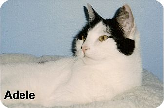 Domestic Shorthair Cat for adoption in Medway, Massachusetts - Adele