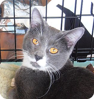 Domestic Shorthair Kitten for adoption in Horsham, Pennsylvania - Stone