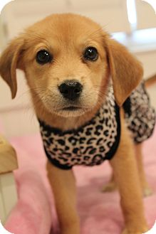 Beagle mixed with golden retriever puppy