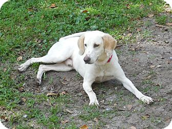 Treeing Walker Coonhound Mix Dog for adoption in Ormond Beach, Florida - Sammy