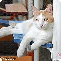 Adopt A Pet :: Cheddar - St Louis, MO