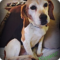 Adopt A Pet :: Flower - North Olmsted, OH