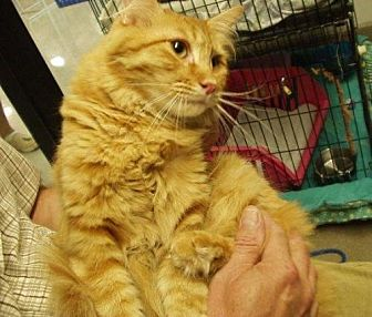 Domestic Longhair Cat for adoption in Midvale, Utah - Sunny