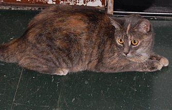 Domestic Shorthair Cat for adoption in Brainardsville, New York - Daisy
