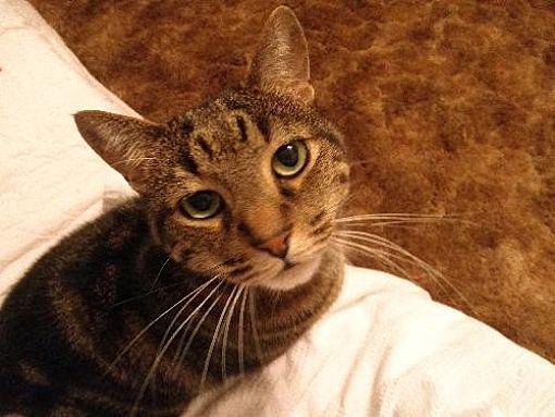 Domestic Shorthair Cat for adoption in Watkinsville, Georgia - Mo