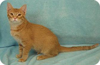 Domestic Shorthair Kitten for adoption in Elkhorn, Wisconsin - Phoenix
