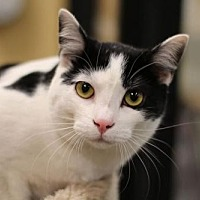 Domestic Shorthair Cat for adoption in Raleigh, North Carolina - Momochi