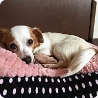 Adopt A Pet :: Renata - Arlington, VA