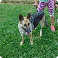 Adopt A Pet :: Shaina - Portland, ME