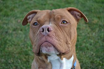 American Bulldog Mix Dog for adoption in Lake Odessa, Michigan - Santino