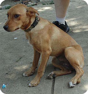 Labrador Retriever/Whippet Mix Puppy for adoption in Washington court House, Ohio - Foxy