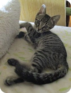 Domestic Shorthair Kitten for adoption in detroit, Michigan - JAY