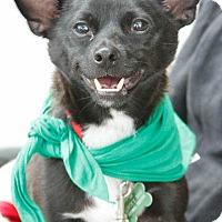 Adopt A Pet :: Asher - Washington, DC