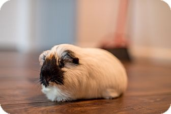 Guinea Pig for adoption in Manhattan, Kansas - Cookie